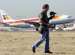 Halcones y otras aves son utilizadas para que no invadan el espacio aéreo de Barajas, Madrid