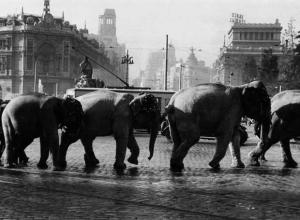 Elefantes paseando por Cibeles en Madrid, 1950