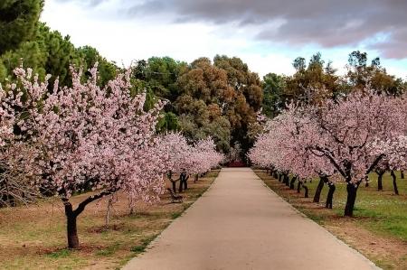 Quinta de los Molinos con los almendros en flor en Madrid